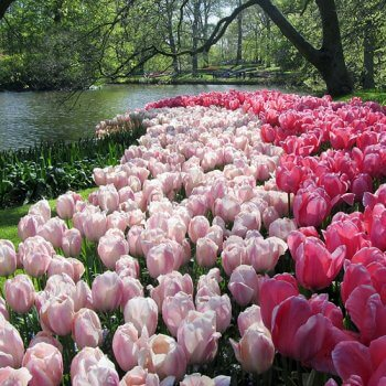 צבעונים בהולנד, אילוסטרציה